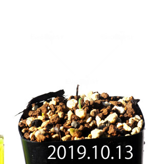 Albuca concordiana EQ97 Seedling 18150