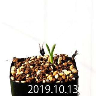 Albuca concordiana EQ97 Seedling 18158