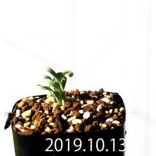 Albuca concordiana EQ97 Seedling 18168