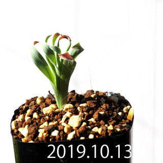 Albuca concordiana EQ97 Seedling 18176