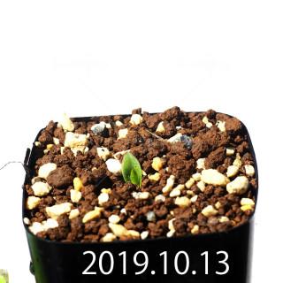 Massonia jasminiflora EQ841 Seedling 18204