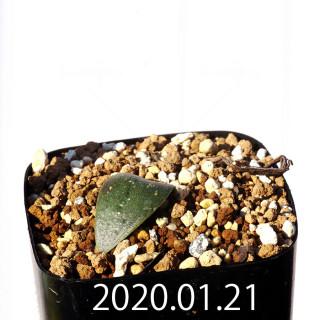 Massonia jasminiflora EQ841 Seedling 18211
