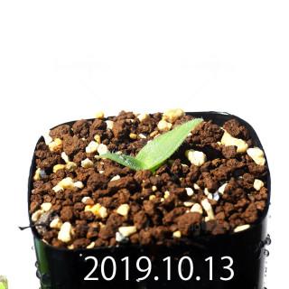 Massonia jasminiflora EQ841 Seedling 18212