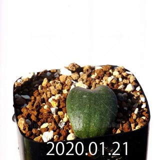 Massonia jasminiflora EQ841 Seedling 18213