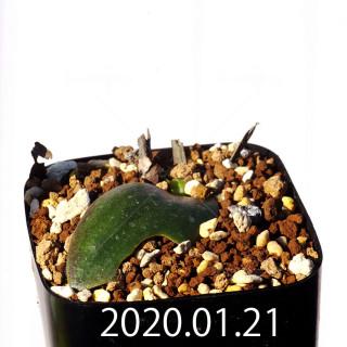 Massonia jasminiflora EQ841 Seedling 18214