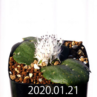 Massonia jasminiflora EQ841 Seedling 18215