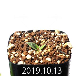 Massonia jasminiflora EQ841 Seedling 18217