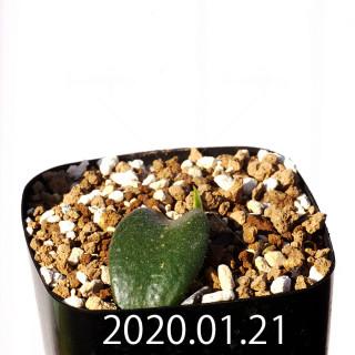 Massonia jasminiflora EQ841 Seedling 18224