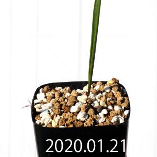Daubenya marginata EQ843 Seedling 18377