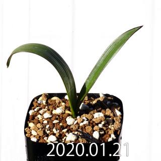 Daubenya marginata EQ843 Seedling 18386