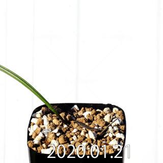 Daubenya marginata EQ843 Seedling 18388