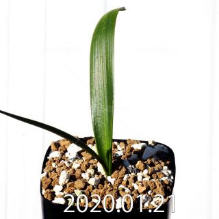 Daubenya marginata EQ843 Seedling 18389