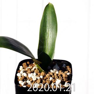 Daubenya marginata EQ843 Seedling 18400