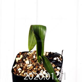 Daubenya marginata EQ843 Seedling 18402