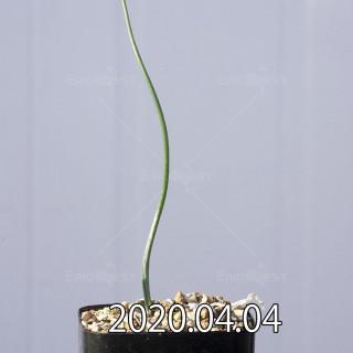 Lachenalia zeyheri GS2507 Seedling 18582