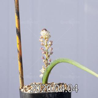 Lachenalia zeyheri GS2507 Seedling 18597