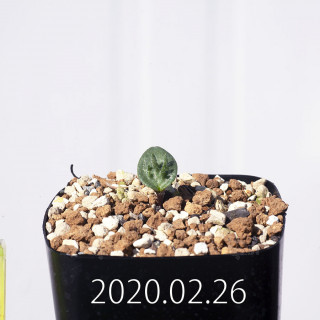 Eriospermum cervicorne MRO99 Seedling 18605
