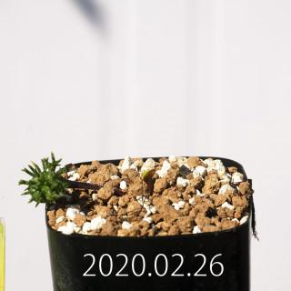 Eriospermum cervicorne MRO99 Seedling 18614