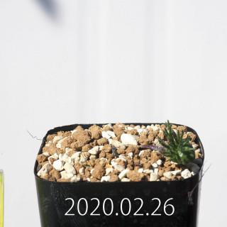 Eriospermum cervicorne MRO99 Seedling 18620