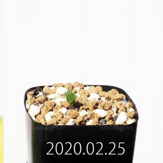 Eriospermum cervicorne MRO99 Seedling 18623
