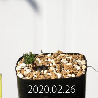 Eriospermum cervicorne MRO99 Seedling 18627