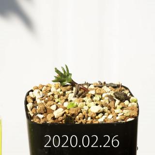Eriospermum cervicorne MRO99 Seedling 18632