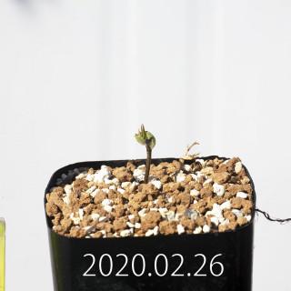 Eriospermum cervicorne MRO99 Seedling 18644