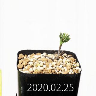 Eriospermum cervicorne MRO99 Seedling 18647