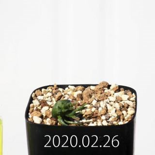 Eriospermum cervicorne MRO99 Seedling 18651