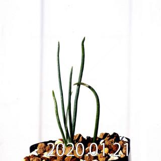 Ornithogalum multifolium EQ857 Offset 18808