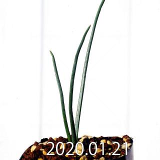 Ornithogalum multifolium EQ857 Offset 18811
