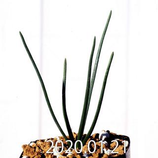 Ornithogalum multifolium EQ857 Offset 18813