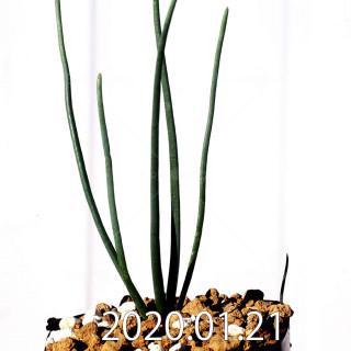 Ornithogalum multifolium EQ857 Offset 18814
