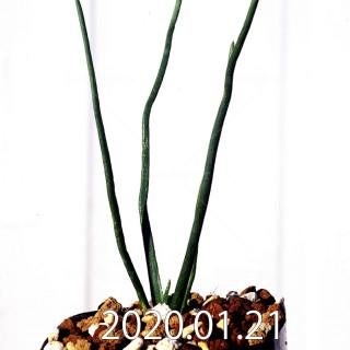 Ornithogalum multifolium EQ857 Offset 18816