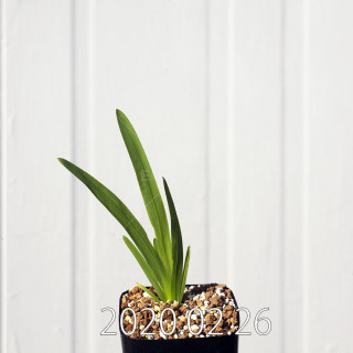 Freesia viridis ssp. crispifolia  Seedling 19006