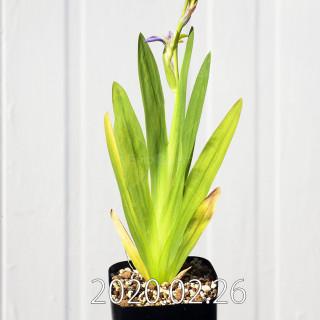 Freesia viridis ssp. crispifolia  Seedling 19018