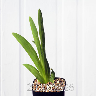 Freesia viridis ssp. crispifolia  Seedling 19020