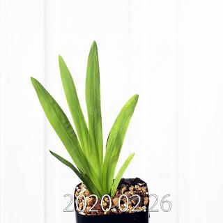 Freesia viridis ssp. crispifolia  Seedling 19034