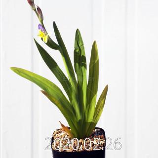 Freesia viridis ssp. crispifolia  Seedling 19042