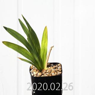 Freesia viridis ssp. crispifolia  Seedling 19051