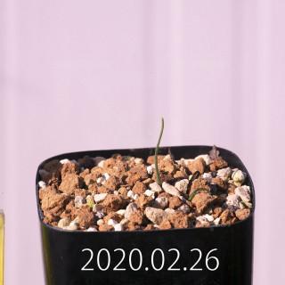 Eriospermum aphyllum IB10404 Seedling 19068