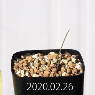 Eriospermum aphyllum IB10404 Seedling 19070