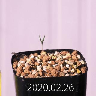 Eriospermum aphyllum IB10404 Seedling 19075