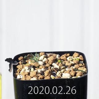 Eriospermum aphyllum IB10404 Seedling 19082