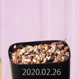 Eriospermum aphyllum IB10404 Seedling 19085