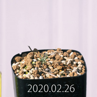 Eriospermum aphyllum IB10404 Seedling 19093