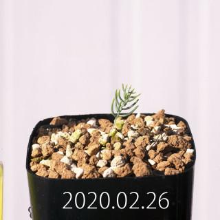 Eriospermum aphyllum IB10404 Seedling 19120