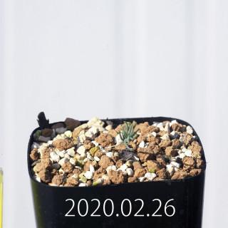 Eriospermum aphyllum IB10404 Seedling 19130
