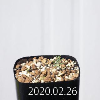 Eriospermum aphyllum IB10404 Seedling 19132