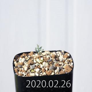 Eriospermum aphyllum IB10404 Seedling 19136